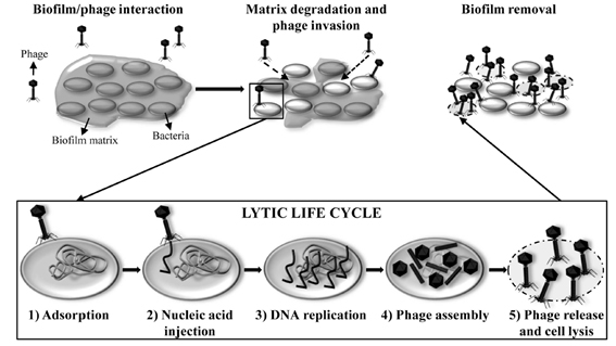 biofilms-fagos