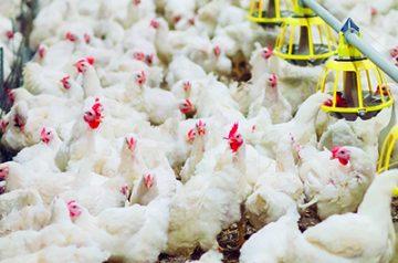 La carne de pollo, principal alimento implicado en las infecciones alimentarias producidas por Campylobacter
